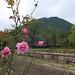 Pink roses 'Dancing queen' (バラ 'ダンシング クィーン')