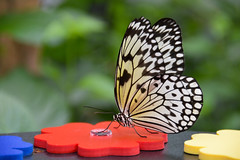 Giant Wood Nymph Butterfly (Idea leuconoe)