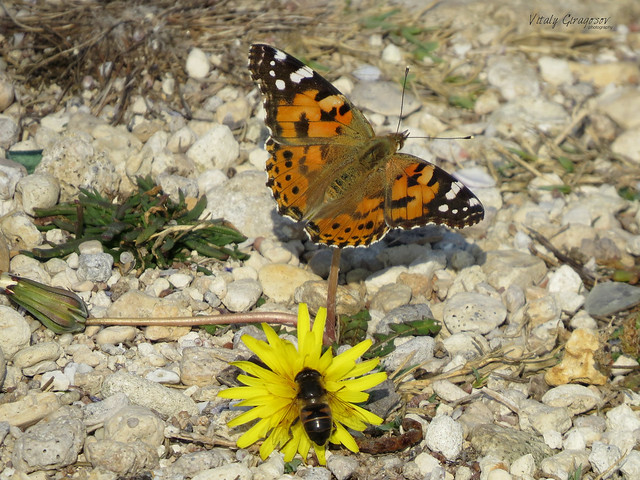 Painted lady & drone.