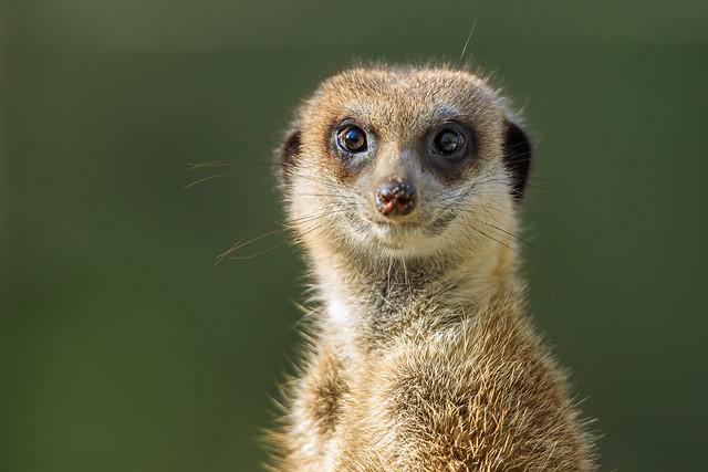 Wide-Eyed Meerkat