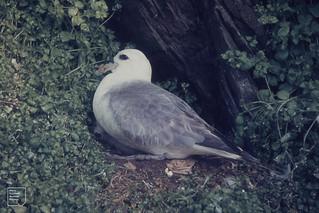Fulmar-stimulated chickweed. Fair Isles, 22/7/1962