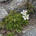 Glacier mouse-ear (Cerastium uniflorum)