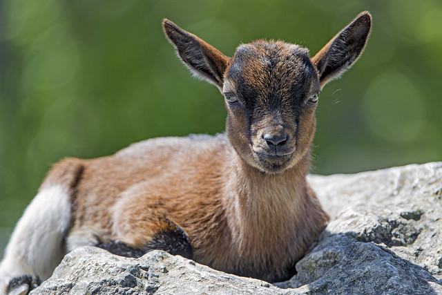 Young brown goat on the rock