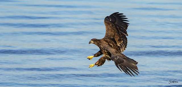 Immature American Bald Eagle