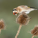 Goldfinch (1 of 5)