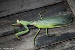 Praying Mantis (Hierodula sp.)