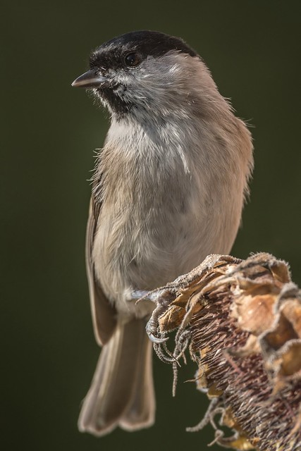 Sumpfmeise / Marsh tit ( Explored 26.9.2017 ), Nikon D850, AF-S Nikkor 600mm f/4D IF-ED II