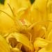 Goldenrod crab spider hunting in rudbeckia laciniata flower by ML Rasmussen