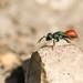 Ruby-tailed Wasp (Chrysis ignita) by Sandra Standbridge.