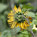Oxfordshire 2017: Sunflower from the back