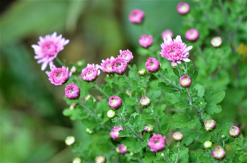 Asters 08.10 (5)
