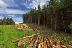 logs of trees in the forest after felling