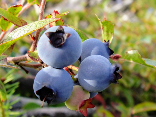 Wild Blueberries, Sony DSC-T90