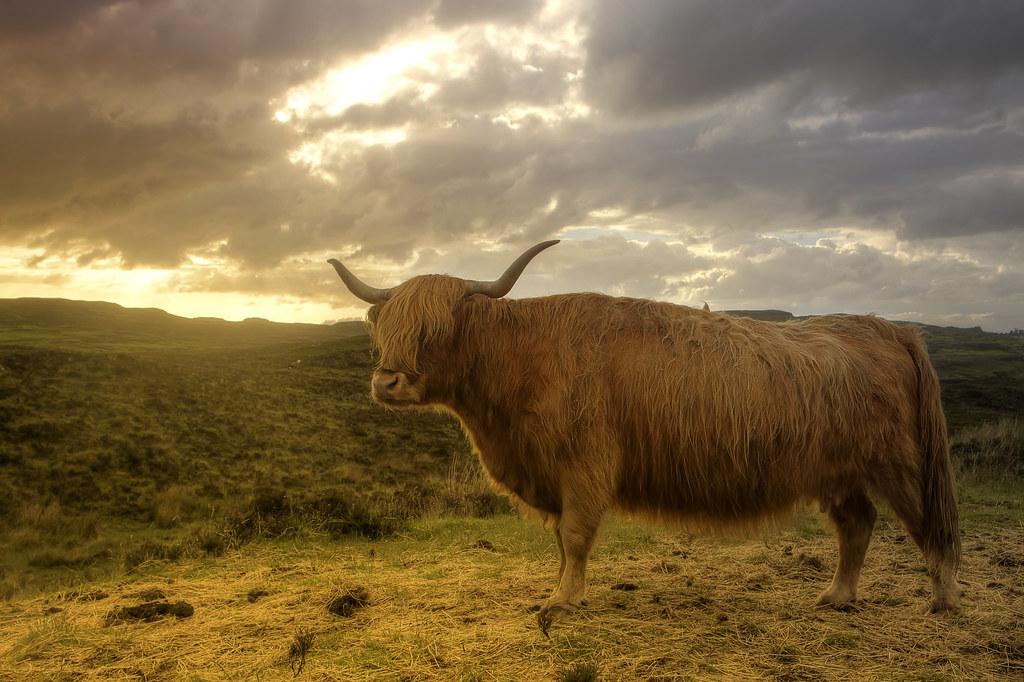 Scottish Highland Cow Tumblr