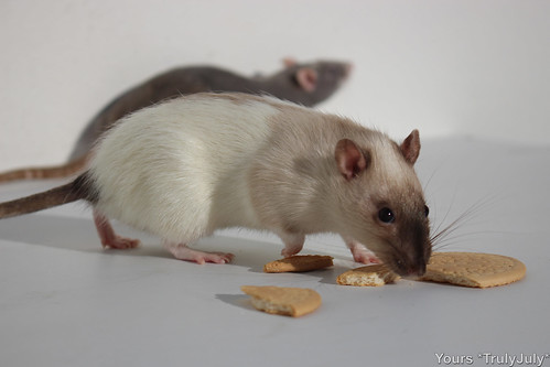Rattie Yoshi is tentative: Biscuits don't just lie around like this!