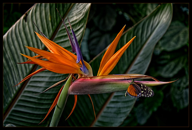 Strelitzia flower with Butterfly