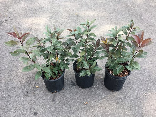 Young Prunus plants that will go to market.
