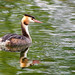 Great Crested Grebe   Podiceps  Cristatus by billoddie3