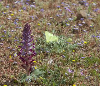 Lachenalia-like Flowers