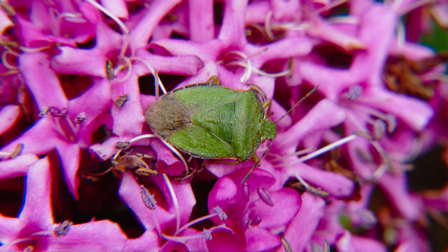 Green on purple: shield bug