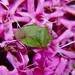 Green on purple: shield bug