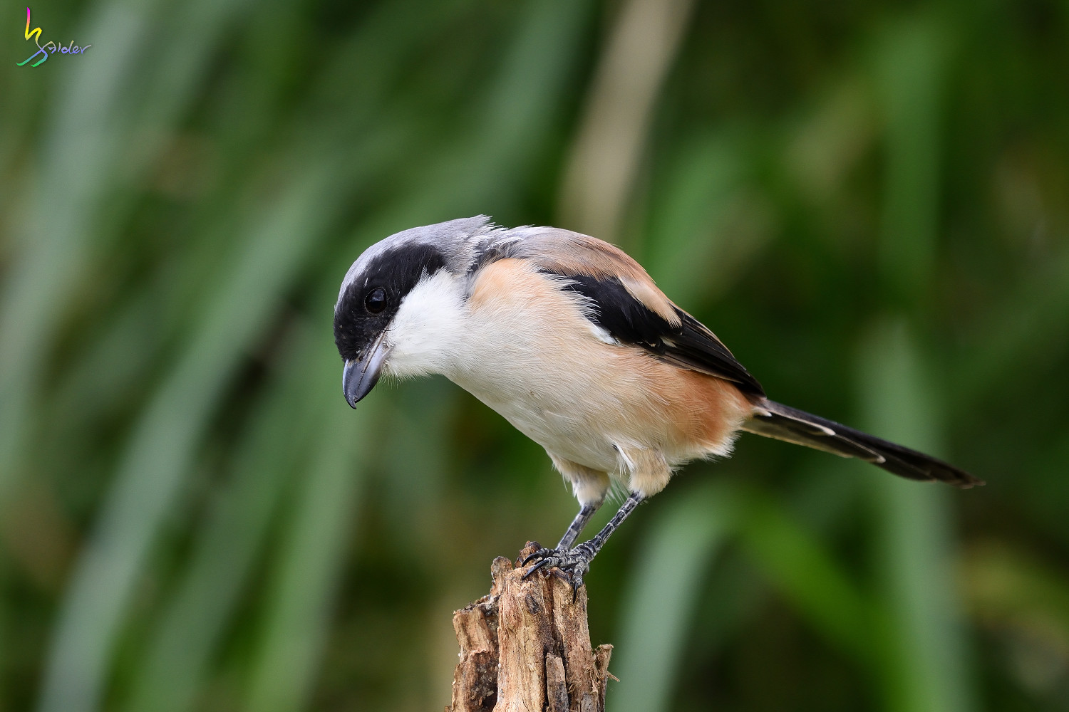 Long-tailed_Shrike_0921