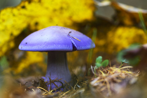 Clitocybe nuda (wood blewit)