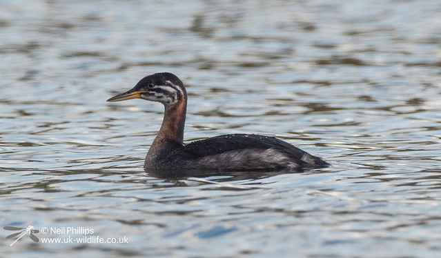 Red necked grebe-16