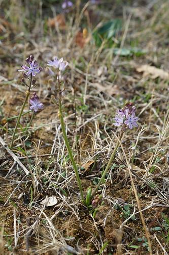 Prospero autumnale (= Scilla autumnalis) - scille d'automne 23573325558_137f82b4c6