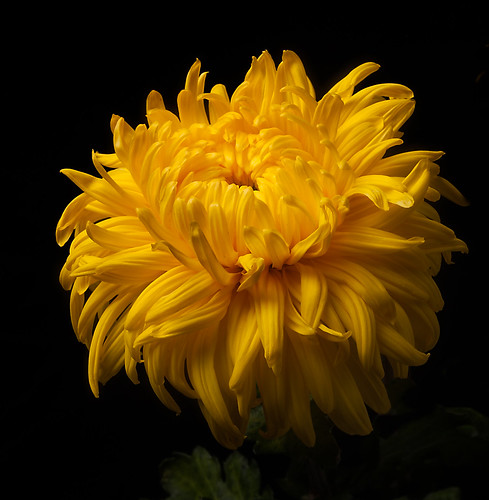 Bud Opening-Chrysanthemum 'Allison Peace