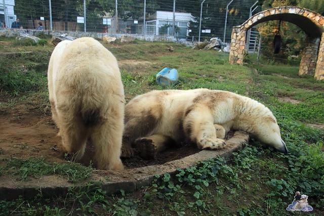 Eisbär Fiete im Sosto Zoo 01.10.2017 158
