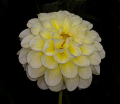 Yellow Puffball Dahlia