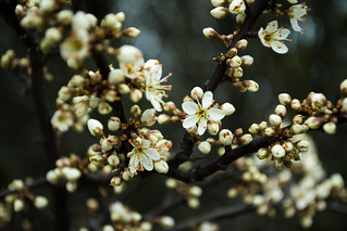 20170329-17_Blackthorn (Sloe) in Flower