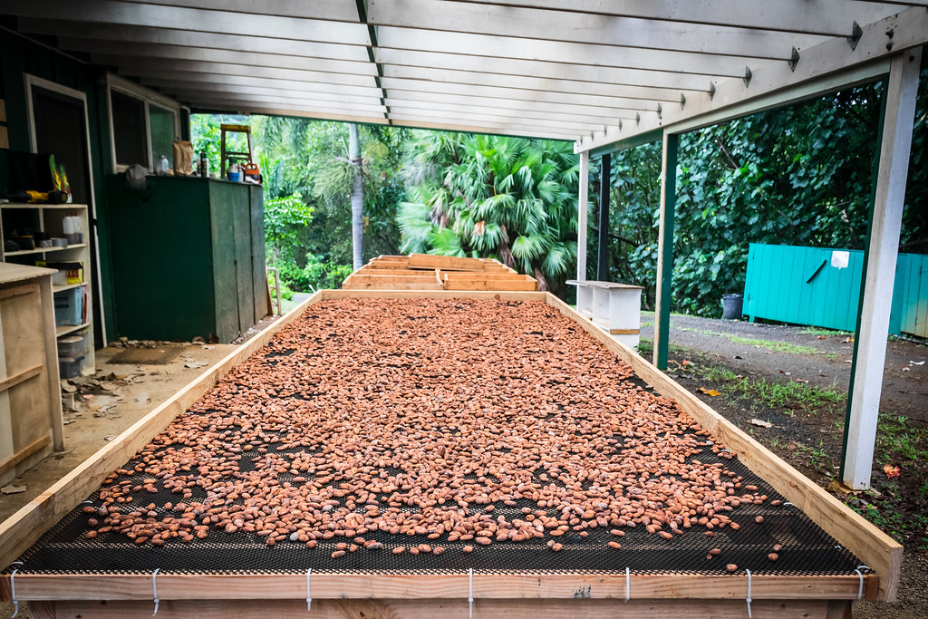 drying the fermented cacao beans before roasting