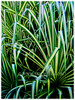 Pandanus baptistii 'Variegated' (Gold-striped Screw Pine, Variegated Screw Pine, Compact Golden Screw Pine)