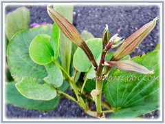 Promising flower buds of Bauhinia purpurea (Orchid Tree, Purple Bauhinia, Butterfly Tree, Hawaiian/Purple Orchid Tree, Camel's Foot Tree), 22 Sept 2017