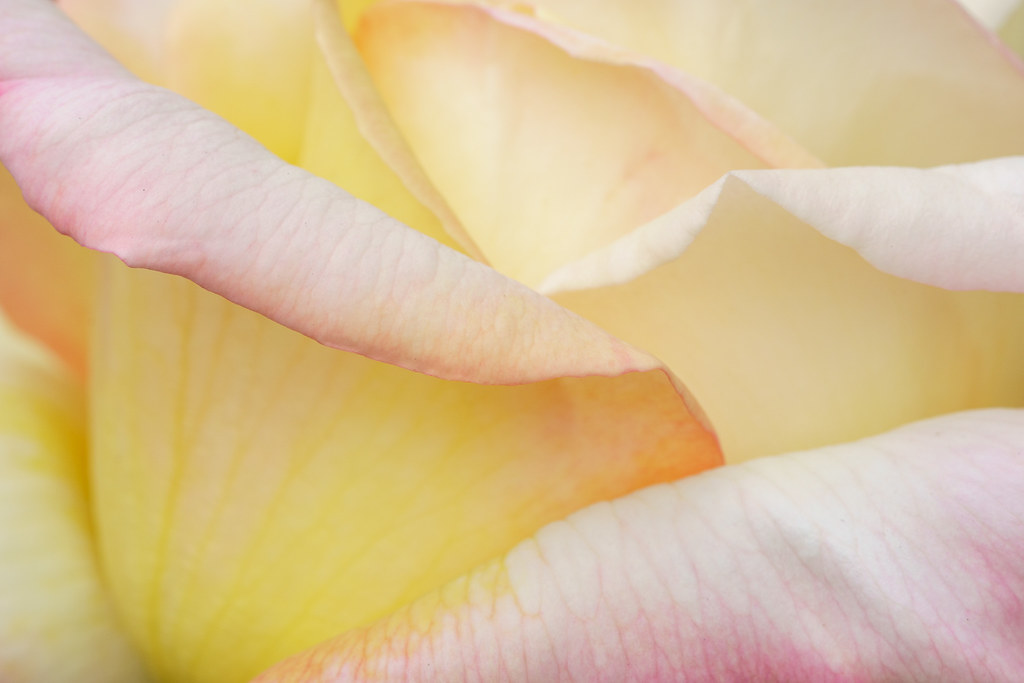 Petals in a rose blossom