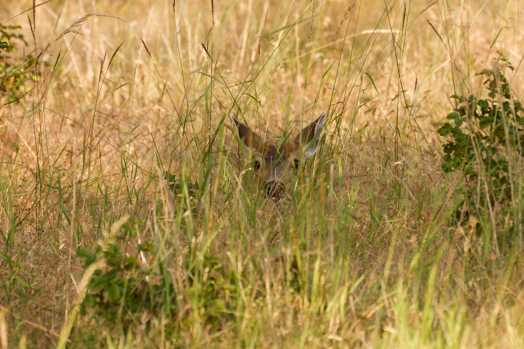 A black-tailed deer rests in the shadows, hidden by the tall grass, along the Rich Guadagno Memorial Loop Trail at Baskett Slough National Wildlife Refuge in Oregon