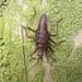 Heath Damsel Bug nymph (?), Kingmoor Nature Reserve, 20 October 17