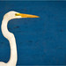 Great Egret, Birds of Bombay Hook National Wildlife Refuge