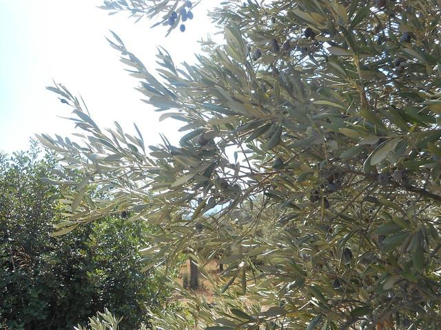 «Σταφίδιασαν» οι ελιές από την παρατεταμένη ανομβρία στην Ψίνθο