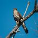 Small photo of Cooper's Hawk (Accipiter cooperii) juvenile