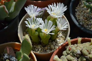 DSC_0049 Ophthalmophyllum longum オフタルモフィルム ロンガム