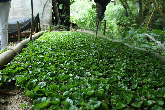Coffee saplings