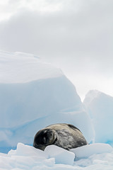 Nap Time for Weddell Seal