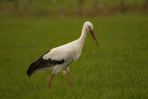 storks on the search 1 | by Evelakes67
