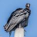 Blavk Vulture (1 of 1) by andrewroberts206