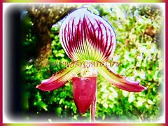 Mesmerising flower of Paphiopedilum barbatum (Slipper Orchid, Bearded Paphiopedilum, Lady's Slipper), 23 Oct 2017