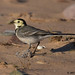 pied wagtail 44 2017