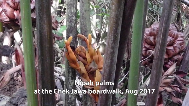 Nipah palm (Nypa fruticans) at Chek Jawa boardwalk